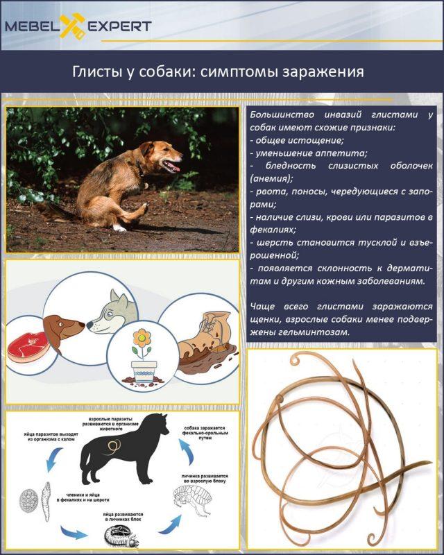 Глисты у собаки: симптомы заражения