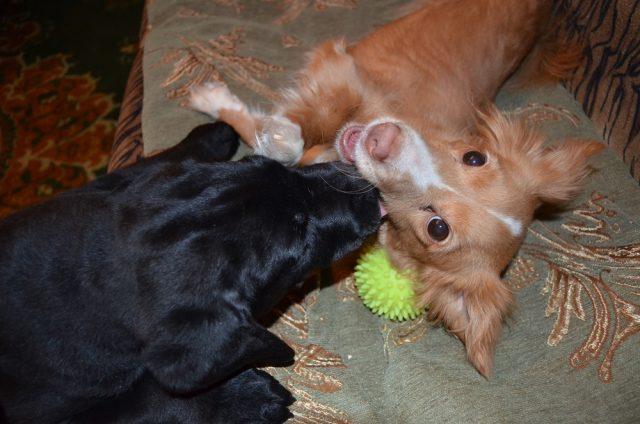 Игры с другими собаками тоже очень важны