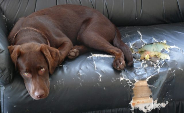 Как отучить собаку грызть мебель