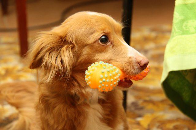 Собака должна играть только со своими игрушками