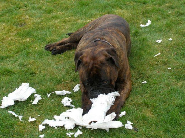 Собака может грызть все подряд из-за глистов