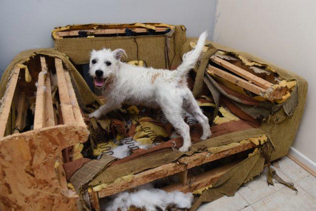 Стресс может заставить собаку грызть мебель