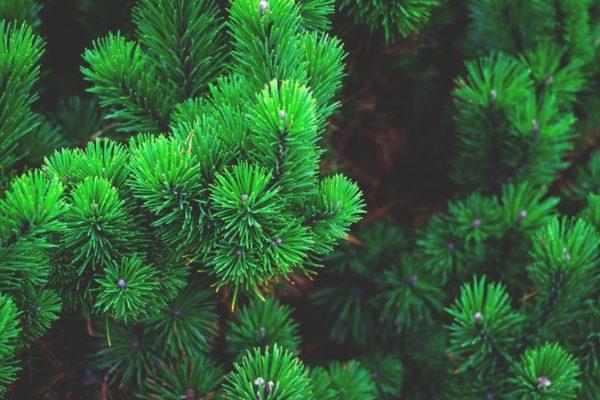 Из-за выделения масел в комнате, где будет установлен комод, постоянно будет пахнуть сосновым лесом