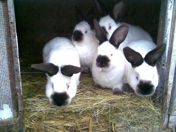 Кролики слишком восприимчивы к болезням