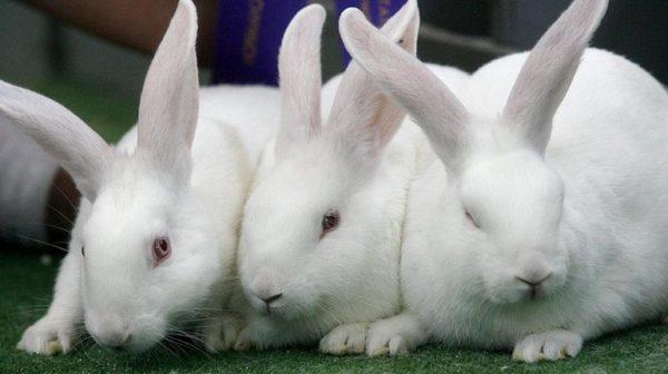 Разведение кроликов требует не только знаний, но и большого труда