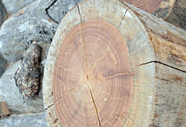 Карельская сосна - дорогостоящая древесина